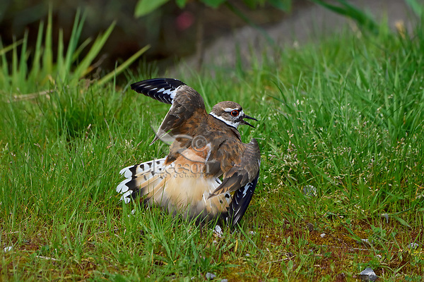 """Killdeer (Charadrius vociferus) acting injured or """" broken wing"""" display.  This display is done to draw predators or humans away from nest; bird is not really injured.  Western U.S., spring."""