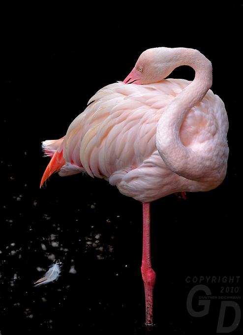 Close up of Flamingos at the Wildlife and Bird Sanctuary Langkawi, Malaysia