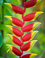 Hanging Lobster Claw (heliconia rostrata). Maui Enchanting Gardens. Maui, Hawaii.
