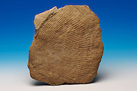 Dickinsonia costate, from the famous Ediacara Fauna of Australia. From the Ediacaran Period, which was recently approved as the name of the last period of the Proterozoic (latter part of the Precambrian), 630-542 mya.