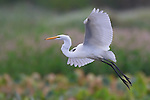 A beautiful egret in flight above the marshlands