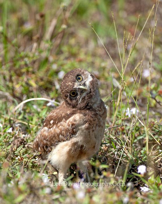 Curious burrowing owl chick #b137