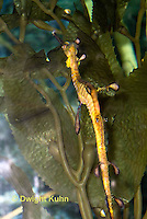 TP10-501z  Weedy Sea Dragon, Phyllopteryx taeniolatus