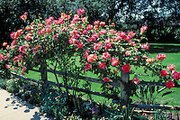 climbing pink roses along wooden garden fence. bloom, petals, rose bush, rose, spring, season, seasonal, plants, gardening. garden.
