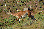 Adult male guanaco (Lama guanicoe) running. Torres del Paine National Park, Patagonia, Chile.