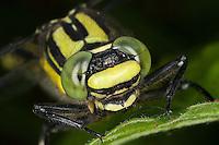 Gemeine Keiljungfer, Portrait mit Komplexaugen, Facettenaugen, Komplexauge, Facettenauge, Gomphus vulgatissimus, club-tailed dragonfly, Flußjungfer, Flussjungfer, Gomphidae