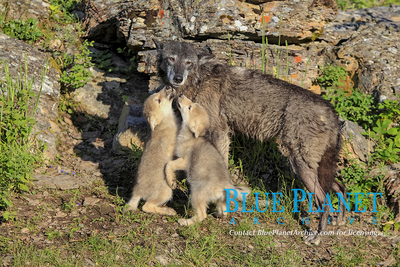 Timber Wolf (Canis lupus), adult female with eight-week old pups, begging for food, captive, Montana, USA, North America