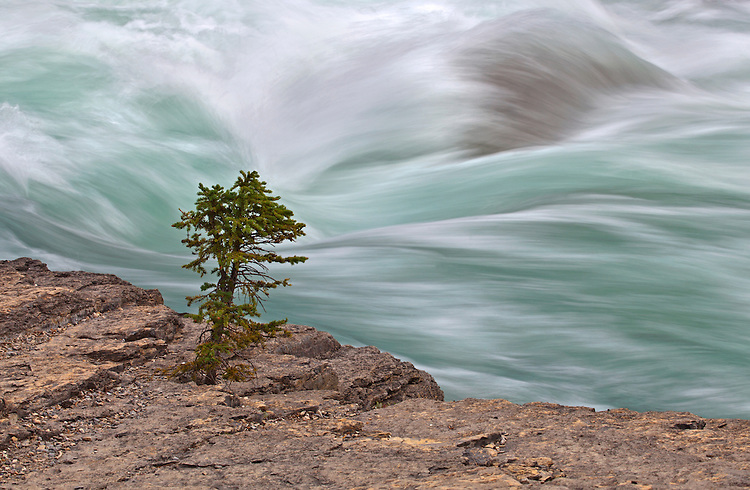The Mistaya River rages behind a lone tree growing on the river's banks near Mistaya Canyon in Banff National Park, Alberta, Canada