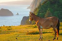 Mule at Pololu senic viewpoint at sunrise The Big Island of Hawaii, Pacific Ocean