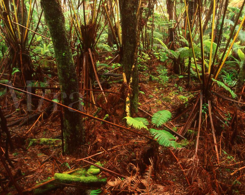 Tree Ferns (Hapu'u)and Ohi'a lihua Forest. rainforest, tropical vegetation. Hawaii Volcanoes National Park, Island of Hawaii.