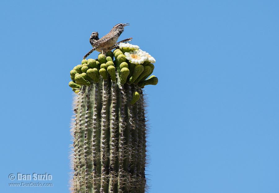 Two Cactus Wrens, Campylorhynchus brunneicapillus, perch on a blooming Saguaro cactus, Carnegiea gigantea, in Saguaro National Park, Arizona