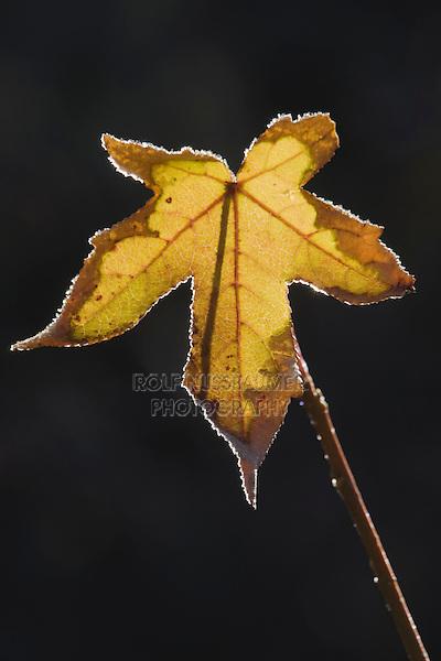 American Sweetgum (Liquidambar styraciflua), leaf frost covered, Lillington, North Carolina, USA
