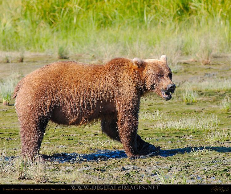 Alaskan Coastal Brown Bear Eating Salmon, Warning Snarl, Silver Salmon Creek, Lake Clark National Park, Alaska