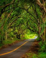 Tree covered road along the Puna Coast. Hawaii