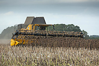 15-10-2021 Harvesting Sunflower for bird seed in the Lincolnshire Fens<br />  ©Tim Scrivener Photographer 07850 303986<br />      ....Covering Agriculture In The UK....