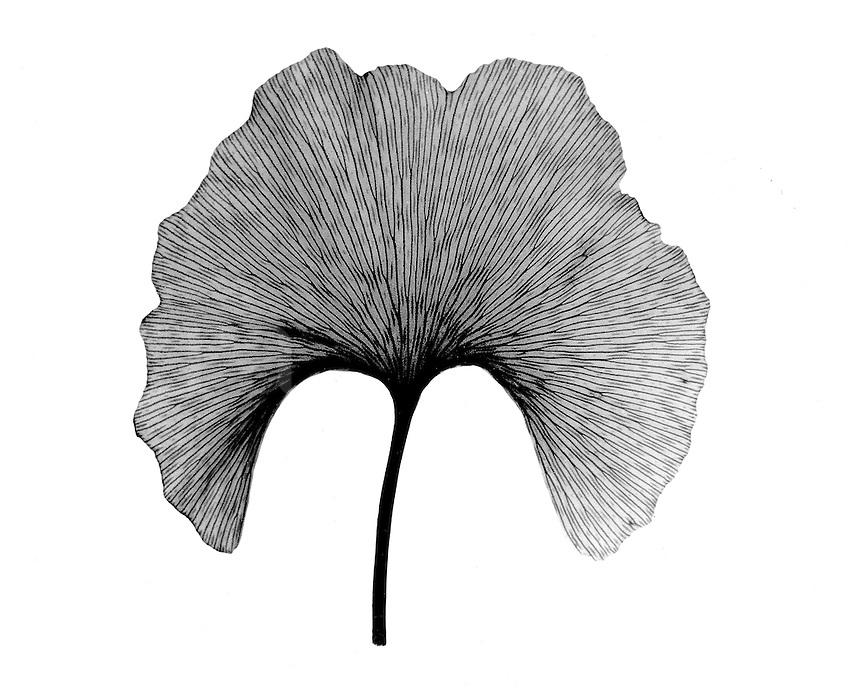 Xray Gingko leaf