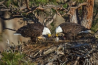 Bald Eagle Nest (Haliaeetus leucocephalus)--adults with ten to twelve day old eaglet in nest in tall ponderosa pine tree.  Oregon.  April.
