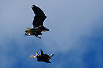 Strong winds aren't enough to stop a pair of eagles from scuffling over the Conowingo parking lot.