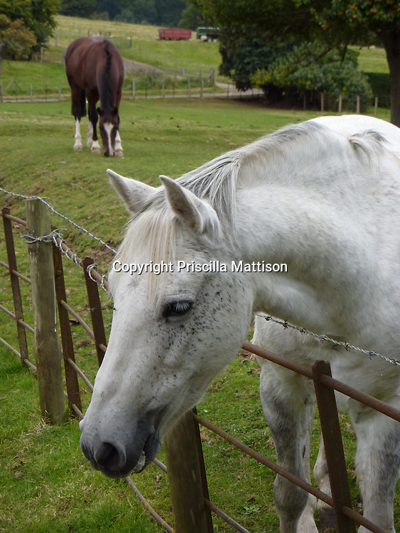 A curious horse leans over a fence, while another horse grazes in the background.