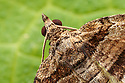 Barberry Carpet Moth (Pareulype berberata) head