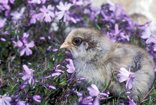 Adorable gray chick (Gallus gallus) in lavender phlox, Phlox stolonifera, in springtime, Missouri, USA