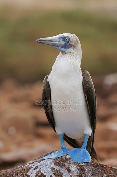 Blue-footed Booby (Sula nebouxii), adult, Seymour Norte Island, Galapagos Islands, Ecuador, South America