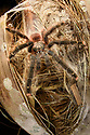 Female pink-toed tarantula (Avicularia avicularia) (Theraphosidae) waiting in ambush outside its daytime lair in a palm tree trunk. Heath River, Tambopata / Bahuaja-Sonene Reserves, Amazonia, Peru / Bolivia border.