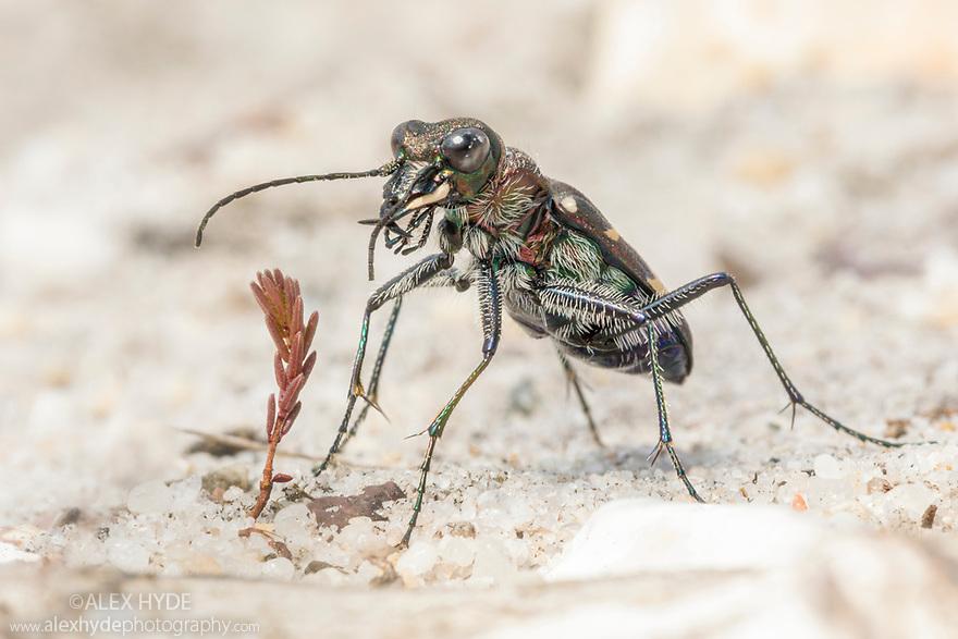 Heath Tiger Beetle (Cicindela sylvatica). Studland, Dorset. July.
