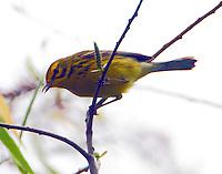 Adult male prairie warbler