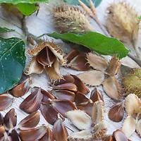 Buchecker, Bucheckern, Buche, Rot-Buche, Rotbuche, Früchte, Fagus sylvatica, Common Beech, Beech, European beech, beechnut, beechnuts, Le hêtre commun