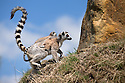 """16/05/16<br /> <br /> """"Have a go at climbing up this rock now""""<br /> <br /> Three baby ring-tail lemurs began climbing lessons for the first time today. The four-week-old babies, born days apart from one another, were reluctant to leave their mothers' backs to start with but after encouragement from their doting parents they were soon scaling rocks and trees in their enclosure. One of the youngsters even swung from a branch one-handed, at Peak Wildlife Park in the Staffordshire Peak District. The lesson was brief and the adorable babies soon returned to their mums for snacks and cuddles in the sunshine.<br /> All Rights Reserved F Stop Press Ltd +44 (0)1335 418365"""