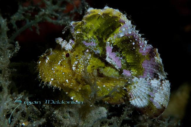 Leaf Scorpionfish, Taenianotus triacanthus, Ambon
