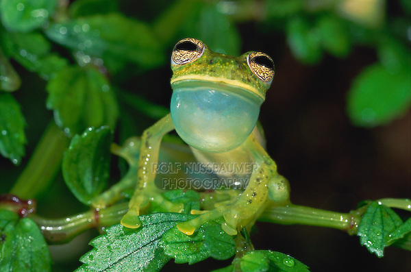 Glass Frog (Cochranella truebae), male calling vocal sac inflated, Manu National Park, Peru
