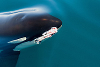 killer whale, or orca, Orcinus orca, swimming near the surface with remains of a common dolphin, Delphinus delphis, in its mouth, Baja California, Mexico, Gulf of California, or Sea of Cortez, Pacific Ocean