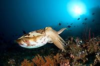 Cuttlefish, Sepia sp. , Gangga Island Resort, North Sulawesi, Indonesia, Pacific Ocean