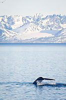 blue whale, Balaenoptera musculus, fluke-up dive, Spitsbergen, Svalbard, Norway, Barents Sea, Arctic Ocean