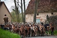 Europe/Europe/France/Midi-Pyrénées/46/Lot/ Théminettes: Troupeau de chêvres de retour de pature à la Ferme: Chez Agnés et David - Fromages de chêvre AOC Rocamadour -Agriculture biologique