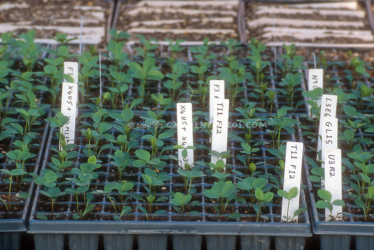 Hellebore seedlings in a flat plugs, started from seeds