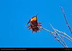 Allen's Hummingbird, Male Display, Sepulveda Wildlife Refuge, Southern California