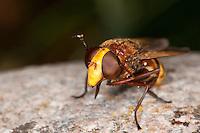 Große Waldschwebfliege, Grosse Wald-Schwebfliege, Hornissenschwebfliege, Hornissen-Schwebfliege, Riesen-Hummelschwebfliege, putzt sich mit den Vorderbeinen die Augen, imitiert das Aussehen von Hornissen, um Schutz vor Fressfeinden zu haben, Tarnung, Mimikry, Volucella zonaria, hornet mimic hoverfly