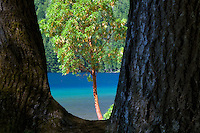 Madrone tree framed. Lake Crescent. Olympic National Park. Washington