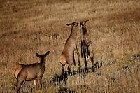 Two young elk cows face off, Rocky Mountain National Park, Colorado