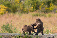 Brown bear cubs play, Katmai National Park, Alaska.