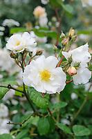 Rosa 'Penelope'
