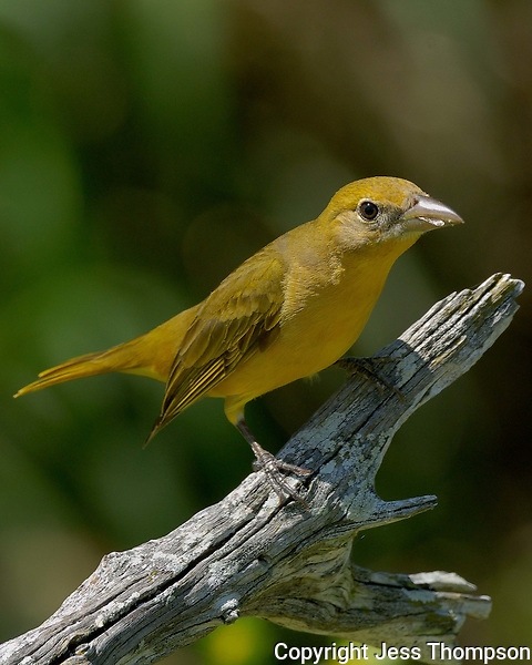 Female Summer Tanager, El Tecalote Ranch, South Texas