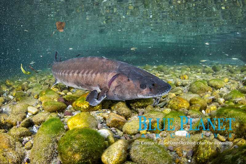 Adriatic sturgeon (Acipenser naccarii) IUNC Red List more critically endangered. It's a species of fish in the family Acipenseridae. It is native to the Adriatic Sea. captive in Parco del Ticino, Biosphere Reserve, Lombardia, Italy.