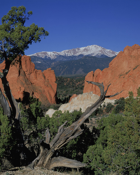 Pikes Peak framed by Juniper tree in Garden of the Gods State Park, Colorado Springs, Colorado, USA.