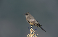 Say's Phoebe, Sayornis saya, adult, Big Bend National Park, Texas, USA, April 2001