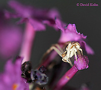 1007-06uu  Crab spider - Misumenops spp. - © David Kuhn/Dwight Kuhn Photography