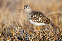 Wood Sandpiper (Tringa glareola) singing on the breeding grounds. Chukotka, Russia. May.